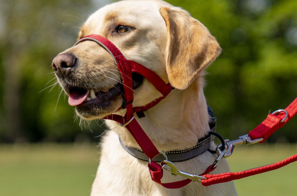 How To Teach Your Dog A Halti | Stroller Walks